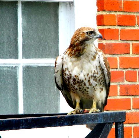 young red tailed hawk richmond virginia phoebe ph guider
